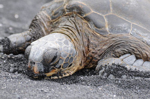 Black Sands Beach Turtle